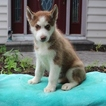 Siberian Husky Puppy For Sale in GAP, PA,