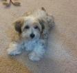 Morkie Puppy For Sale in MILTON, WA, USA