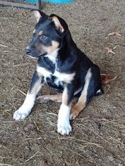 Australian Cattle Dog Puppy For Sale in BIG CABIN, OK, USA