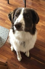 Australian Shepherd Dog for Adoption in NATIONAL CITY, California USA