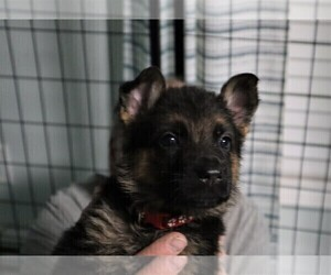 German Shepherd Dog Puppy for Sale in PLYMOUTH, New Hampshire USA