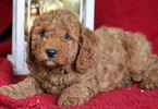 Cockapoo Puppy For Sale