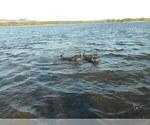 Small #35 Labrador Retriever