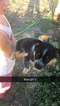 Australian Cattle Dog Puppy For Sale in ORLAND, CA, USA