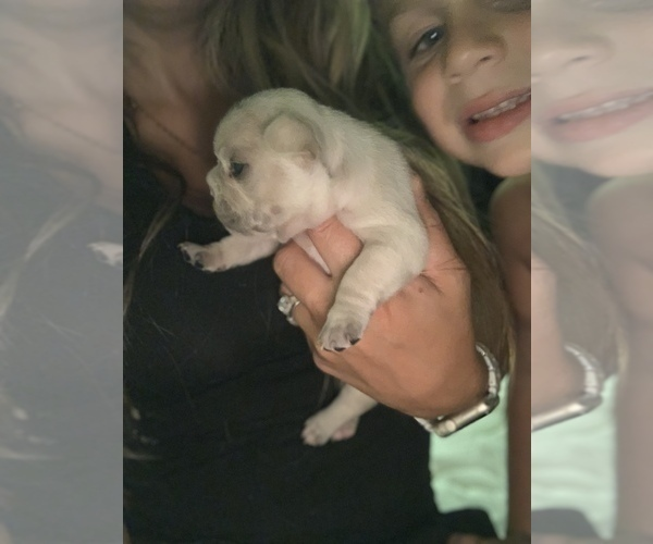 Medium Photo #7 French Bulldog Puppy For Sale in LEAWOOD, KS, USA
