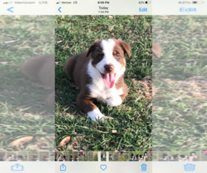 Border Collie Puppy for Sale in CYPRESS MILL, Texas USA
