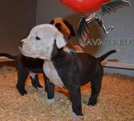 Alapaha Blue Blood Bulldog Puppy For Sale in TOLEDO, OH