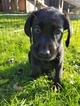 Labrador Retriever Puppy For Sale in WARREN, MA,