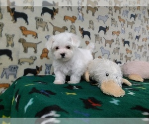 Maltese Puppy for Sale in WINSTON SALEM, North Carolina USA