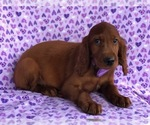 Katie the Irish Setter