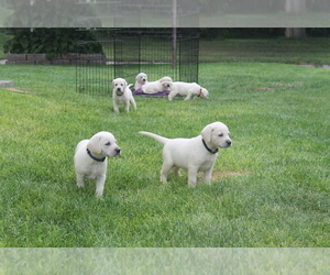 Labrador Retriever Puppy for Sale in CURTIS, Nebraska USA