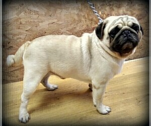 Father of the Pug puppies born on 10/09/2020
