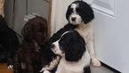 Springerdoodle Puppy For Sale in FLORENCE, Alabama,