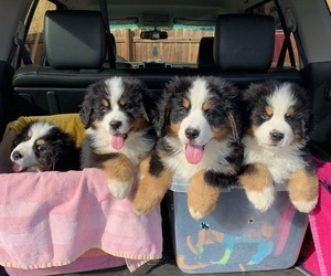 Bernese Mountain Dog Puppy for sale in CENTENNIAL, CO, USA