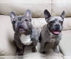 Father of the French Bulldog puppies born on 06/22/2019