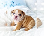 Small #3 English Bulldog