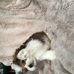 Havashu Puppy For Sale in HOUSTON, TX, USA