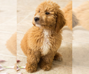 Goldendoodle Puppy for Sale in BAY VIEW, Wisconsin USA