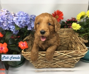 Goldendoodle Puppy for Sale in ANDERSON, California USA