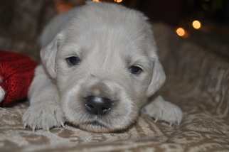 Golden Retriever Puppy For Sale in TOONE, TN, USA