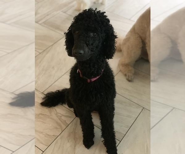 Medium Photo #1 Poodle (Standard) Puppy For Sale in TAMPA, FL, USA
