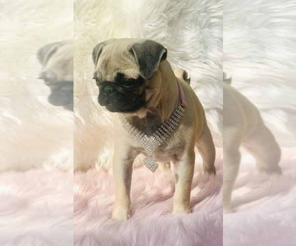 Medium Photo #23 Pug Puppy For Sale in CANTON, CT, USA