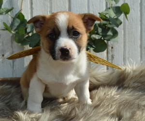 Boston Terrier-Jack Russell Terrier Mix Dog for Adoption in HONEY BROOK, Pennsylvania USA
