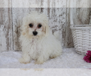Maltese-Poodle (Toy) Mix Puppy for sale in SHILOH, OH, USA