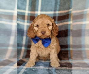 Cock-A-Poo Dog for Adoption in KIRKWOOD, Pennsylvania USA
