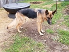 German Shepherd Dog Puppy For Sale in MAPLE HEIGHTS, OH, USA