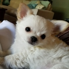 Chihuahua Puppy For Sale in RANCHO CUCAMONGA, CA, USA