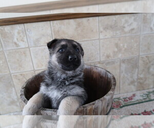 German Shepherd Dog Dog for Adoption in CHICAGO, Illinois USA