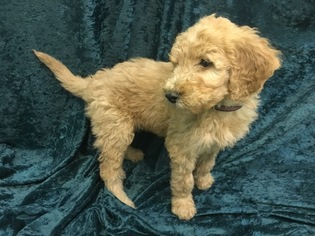 Goldendoodle Puppy For Sale in TEMECULA, CA, USA