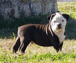 Puppy 2 Olde English Bulldogge