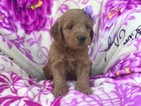 Golden Retriever-Poodle (Miniature) Mix Puppy For Sale in PEACH BOTTOM, PA, USA