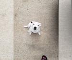 Small #6 Staffordshire Bull Terrier