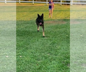 German Shepherd Dog Puppy for sale in CLAY CENTER, KS, USA