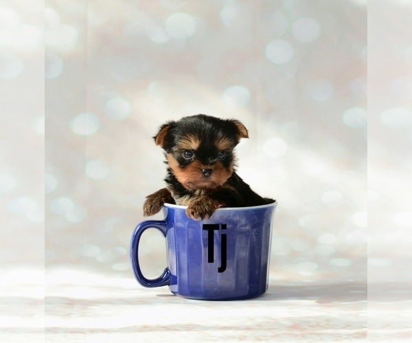 Medium Photo #1 Yorkshire Terrier Puppy For Sale in VANCOUVER, WA, USA