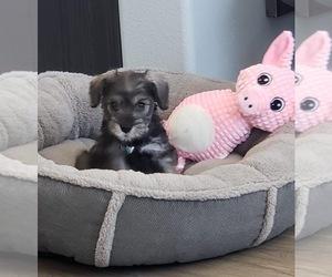 Schnauzer (Miniature) Puppy for sale in CORONA, CA, USA