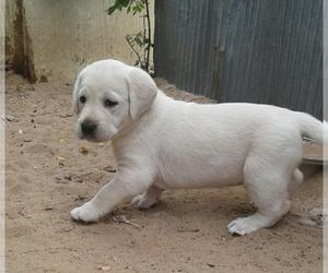 Labrador Retriever Puppy for Sale in FORT LUPTON, Colorado USA