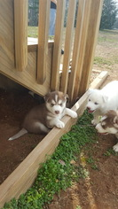 Siberian Husky Puppy For Sale in LOUISBURG, NC