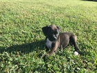 Boxer Puppy For Sale in MARSHFIELD, MO