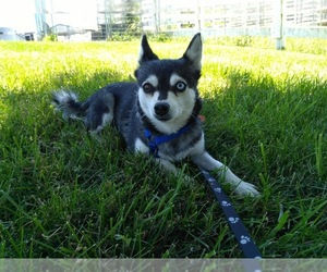Alaskan Klee Kai Dog for Adoption in WILLIAMSBURG, Ohio USA
