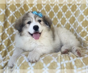 Great Pyrenees Dog for Adoption in LAKELAND, Florida USA