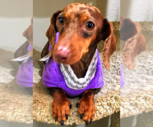 Mother of the Dachshund puppies born on 08/23/2020