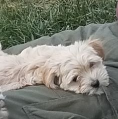 Coton de Tulear Dog for Adoption in HUNTINGTN BCH, California USA