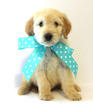 Goldendoodle Puppy For Sale in DEMOPOLIS, AL
