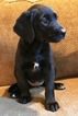 Goldendoodle Labrador Mix