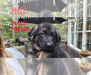 German Shepherd Dog Puppy for sale in WOOD RIVER JT, RI, USA