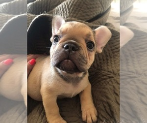 French Bulldog Dog for Adoption in HOFFMAN EST, Illinois USA